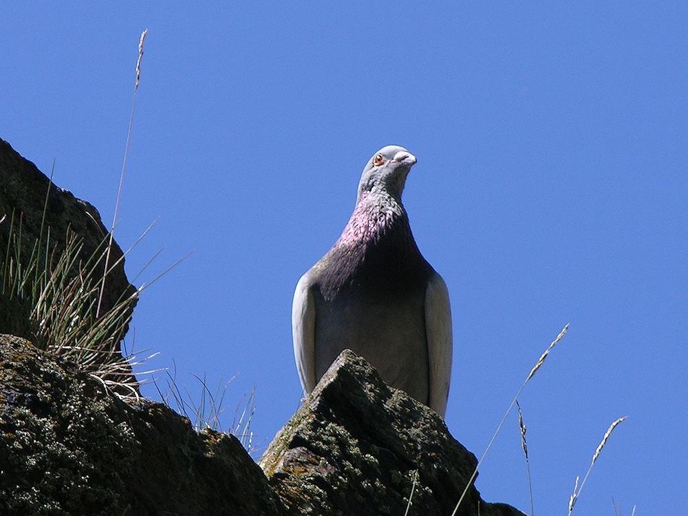 Foto/billede af Klippedue (Columba livia)