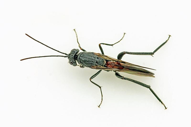 Ibalia leucospoides