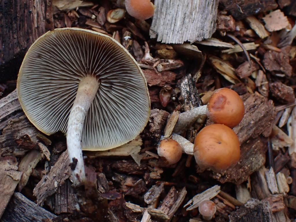 Enlig Svovlhat (Hypholoma marginatum)