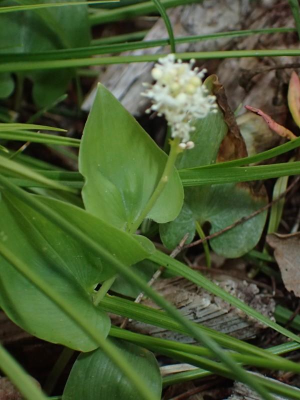 Majblomst (Maianthemum bifolium)