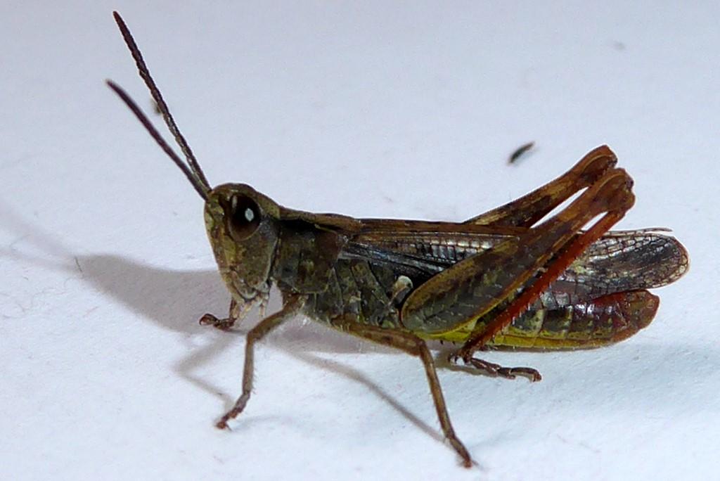 Foto/billede af Syngende Markgræshoppe (Chorthippus biguttulus)