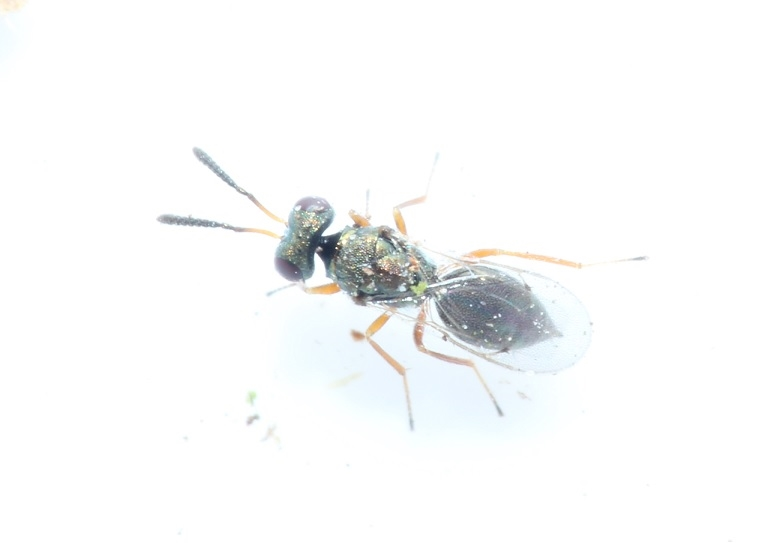 Cyrtogaster vulgaris