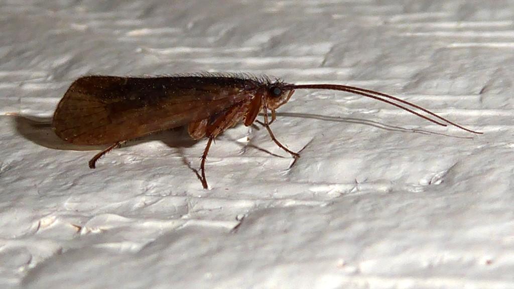 Foto/billede af Limnephilus sparsus (Limnephilus sparsus)