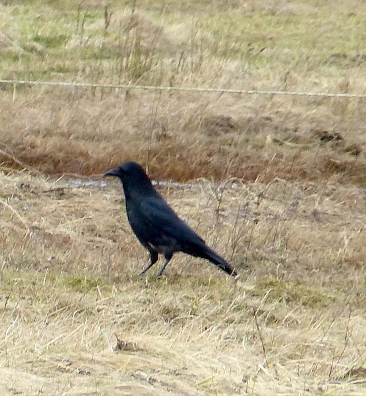 Foto/billede af Sortkrage x Gråkrage (hybrid) (Corvus corone x C. cornix)
