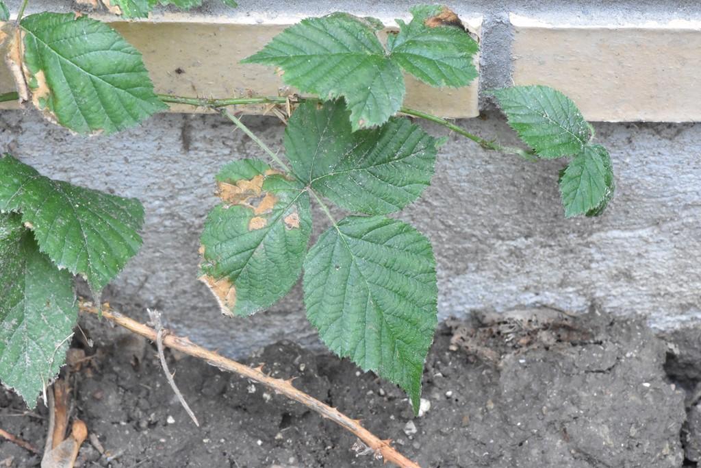 Rubus fabrimontanus