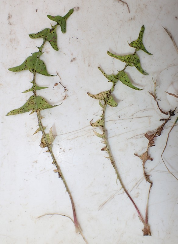 Foto/billede af Bakke-Sandmælkebøtte (Taraxacum lacistophyllum)