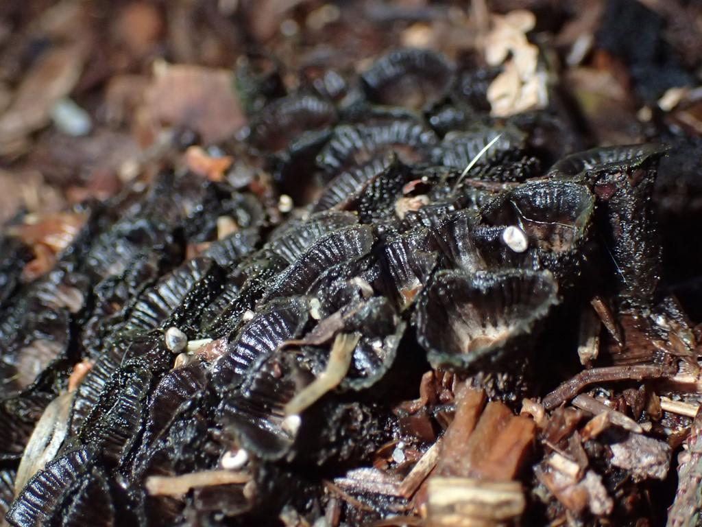 Foto/billede af Stribet Redesvamp (Cyathus striatus)