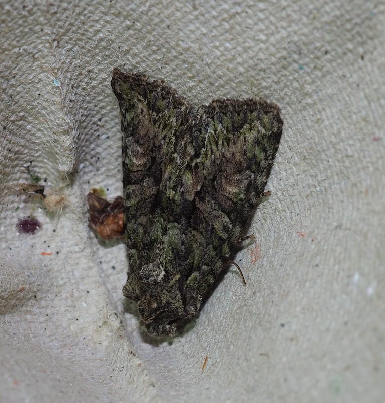 Foto/billede af Eremitugle (Dryobotodes eremita)