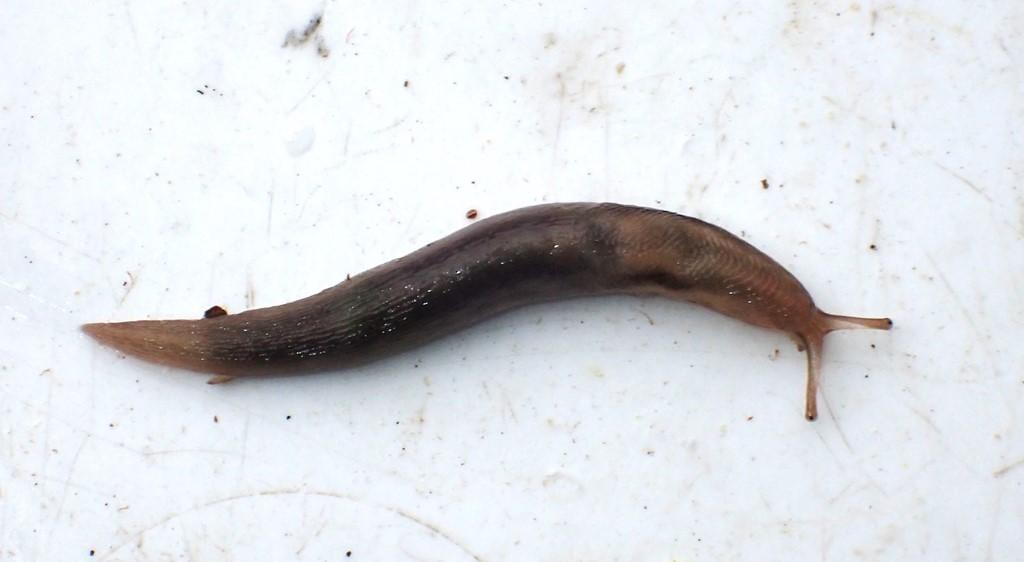 Agersnegl (Deroceras agreste)
