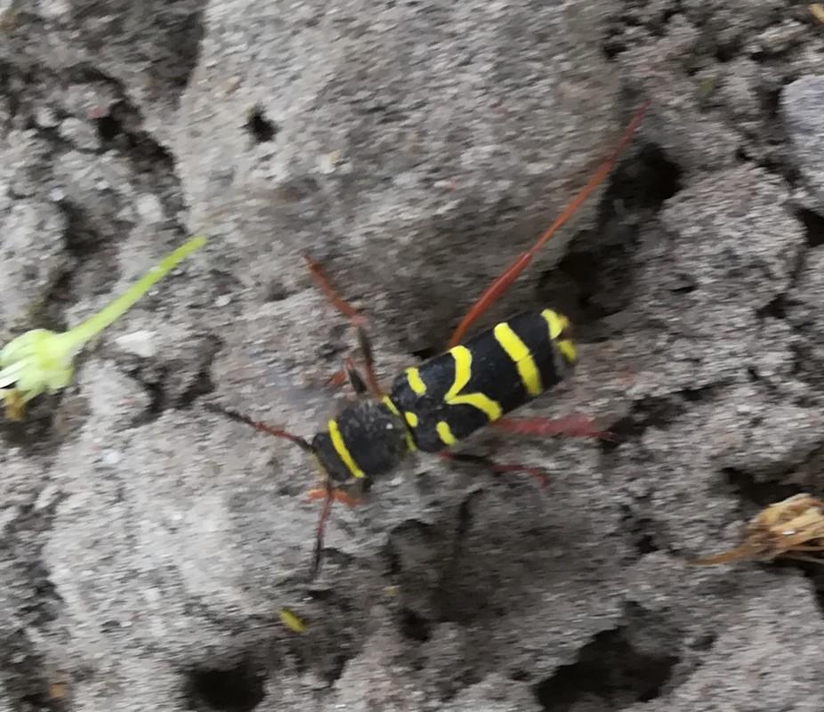 Foto/billede af Lille Hvepsebuk (Clytus arietis)