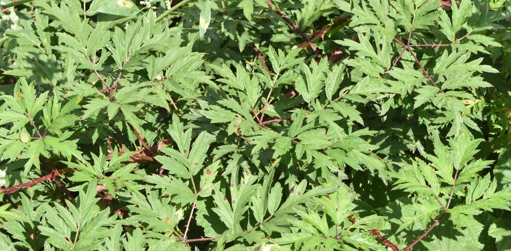 Foto/billede af Fliget Brombær (Rubus laciniatus)