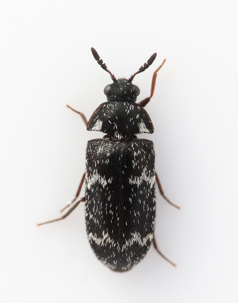 Foto/billede af Megatoma undata (Megatoma undata)