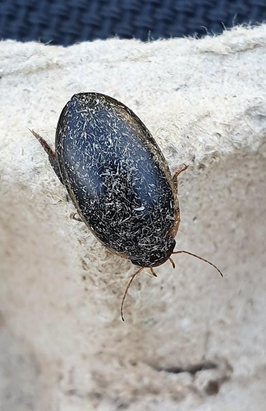 Hydaticus seminiger (Hydaticus seminiger)