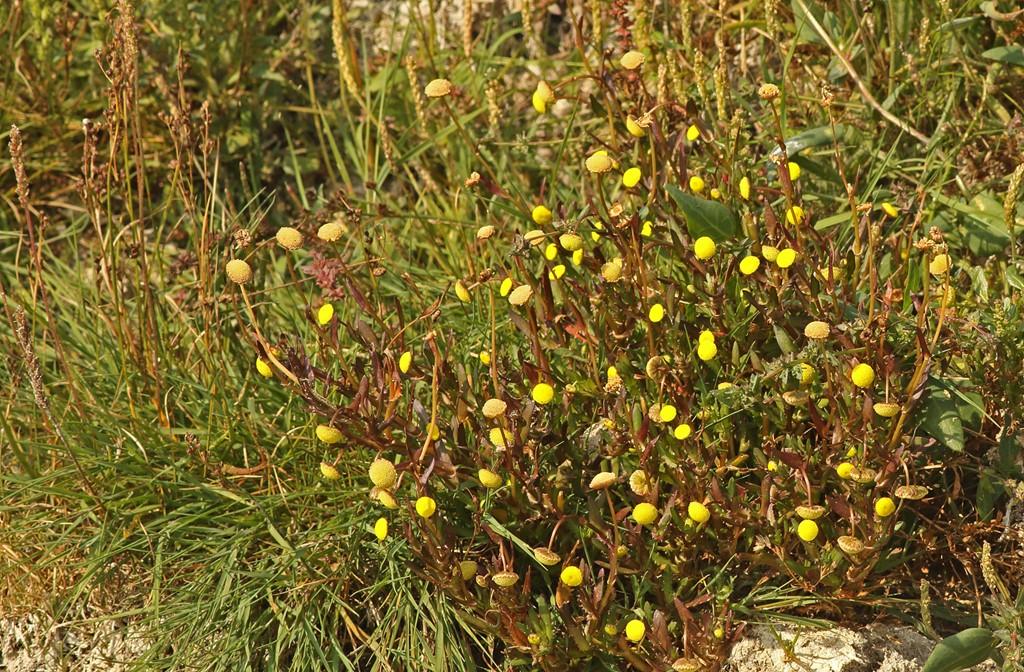 Foto/billede af Firkløft (Cotula coronopifolia)