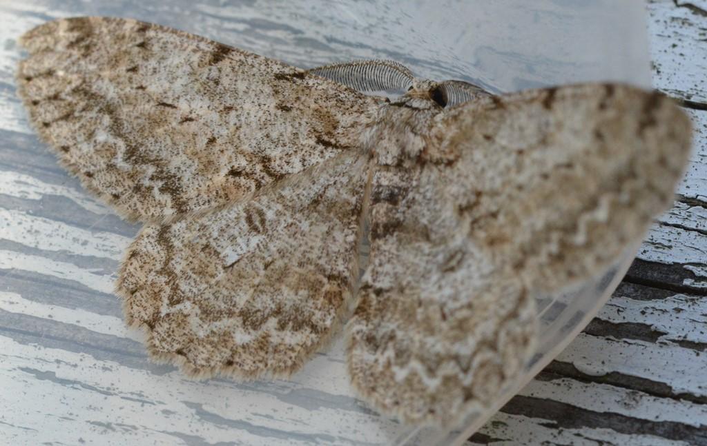 Foto/billede af Grå Egemåler (Hypomecis punctinalis)
