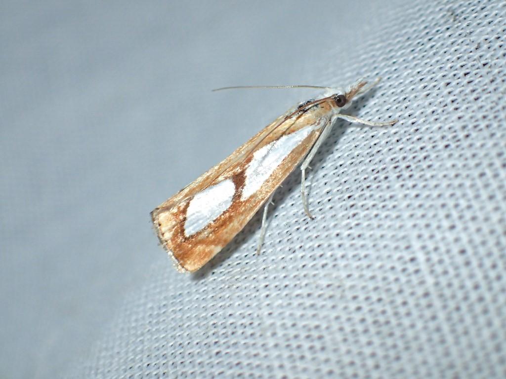 Catoptria pinella (Catoptria pinella)