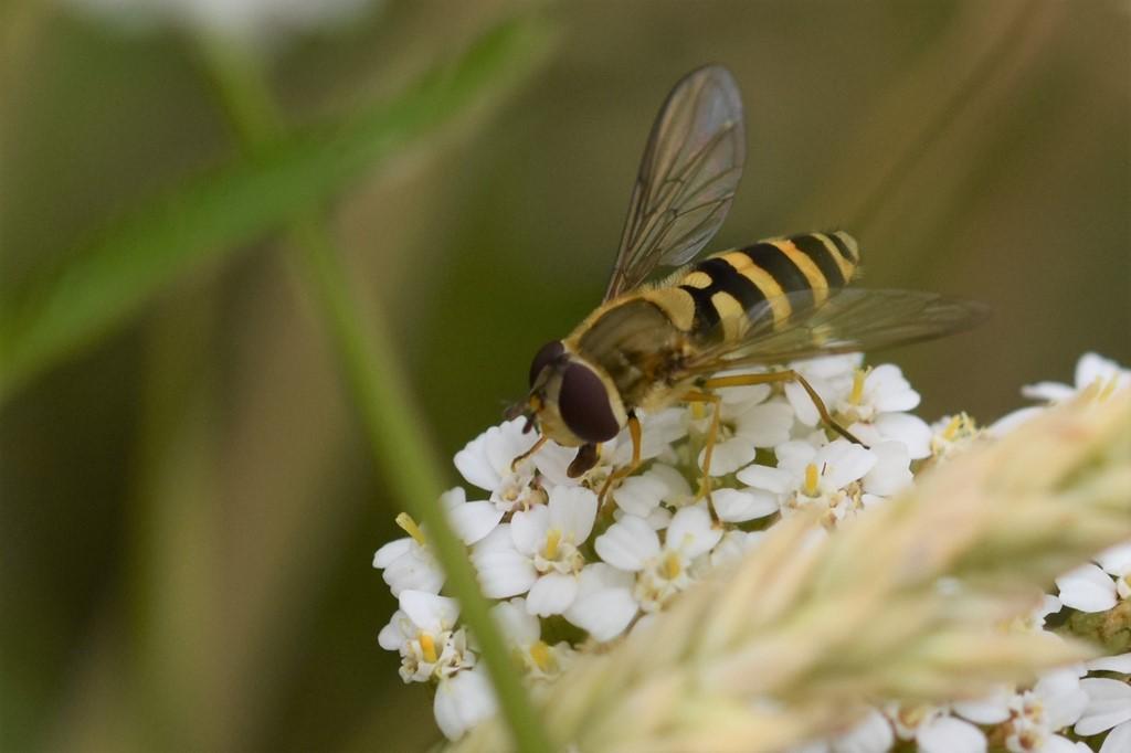 Almindelig Havesvirreflue (Syrphus ribesii)