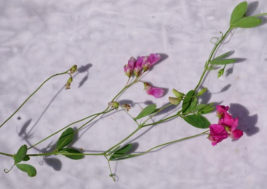 Foto/billede af Knold-Fladbælg (Lathyrus tuberosus)