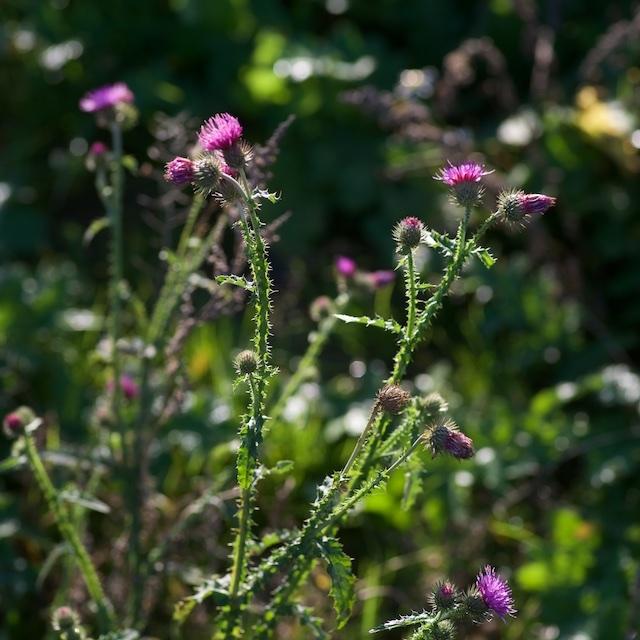 Kruset Tidsel (Carduus crispus)