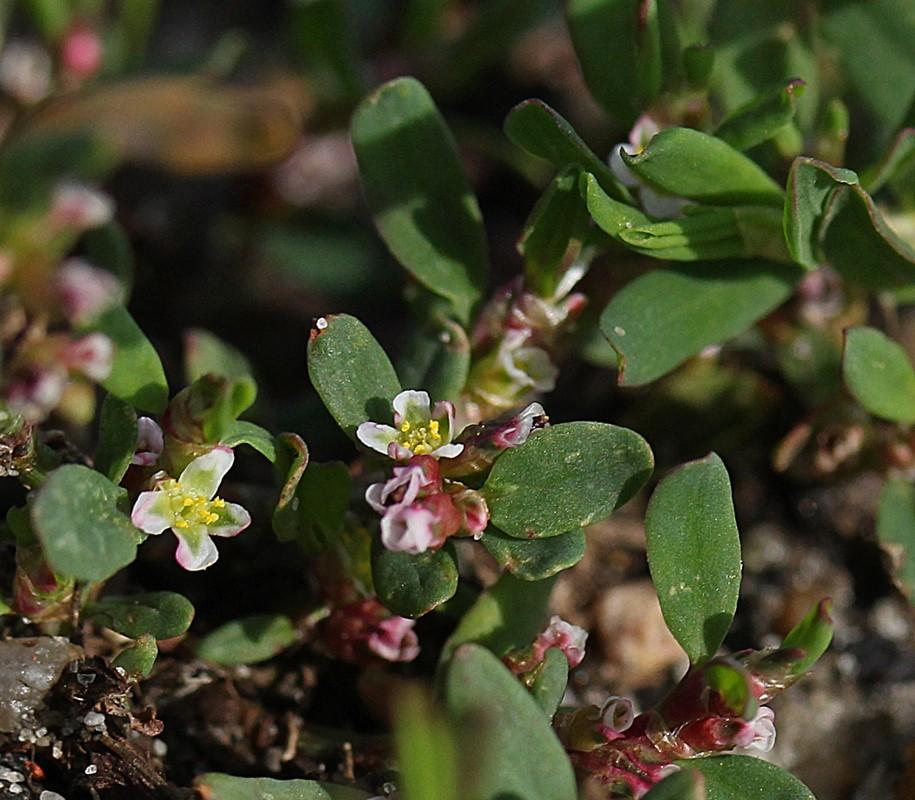 Foto/billede af Liggende Vej-Pileurt (Polygonum aviculare ssp. microspermum)