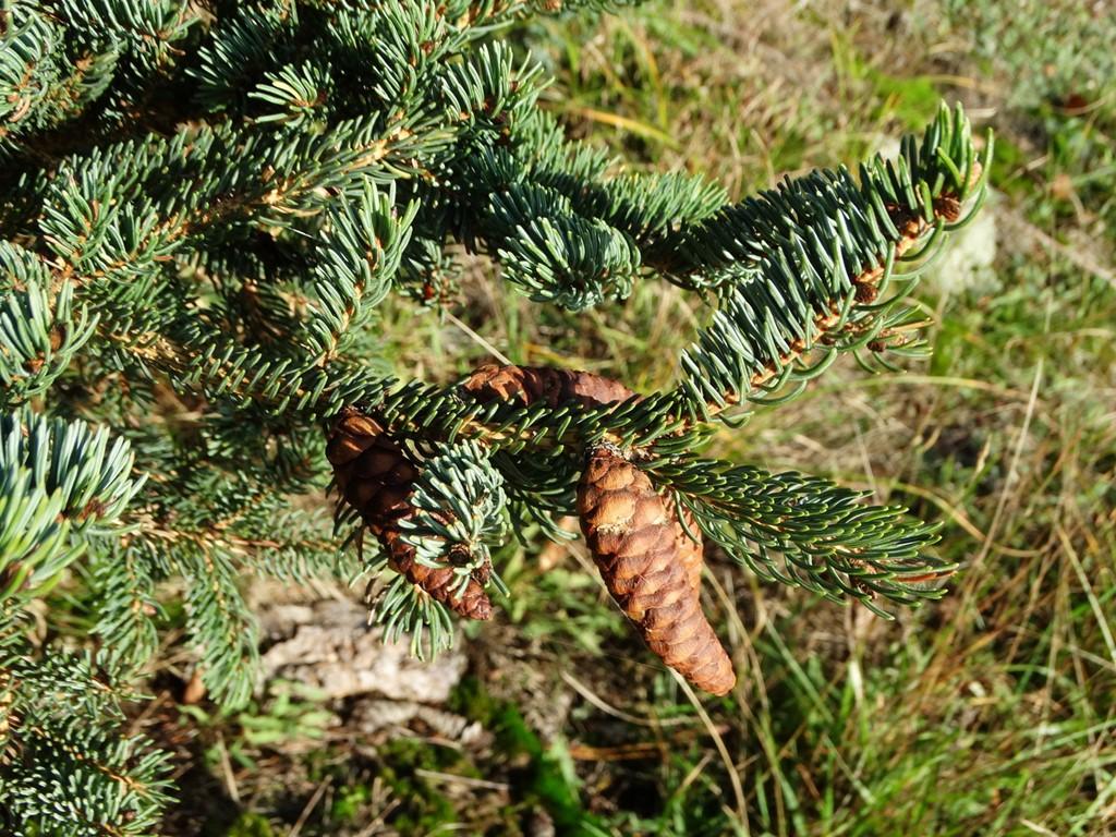 Foto/billede af Hvid-Gran (Picea glauca)