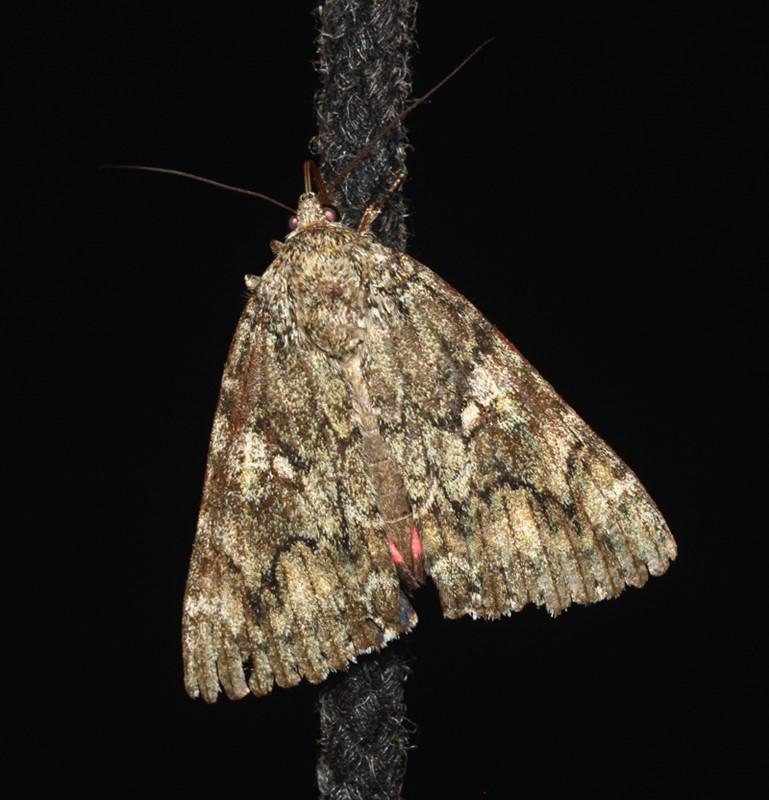 Egekarmin (Catocala sponsa)