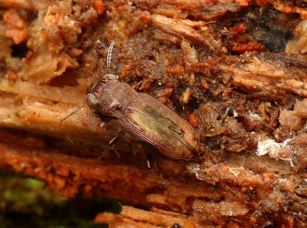 Foto/billede af Toplettet Spejlløber (Notiophilus biguttatus)