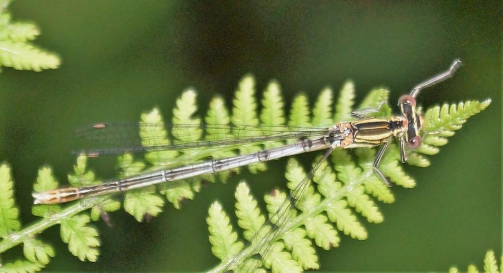 Fjerbenet Vandnymfe (Platycnemis pennipes)