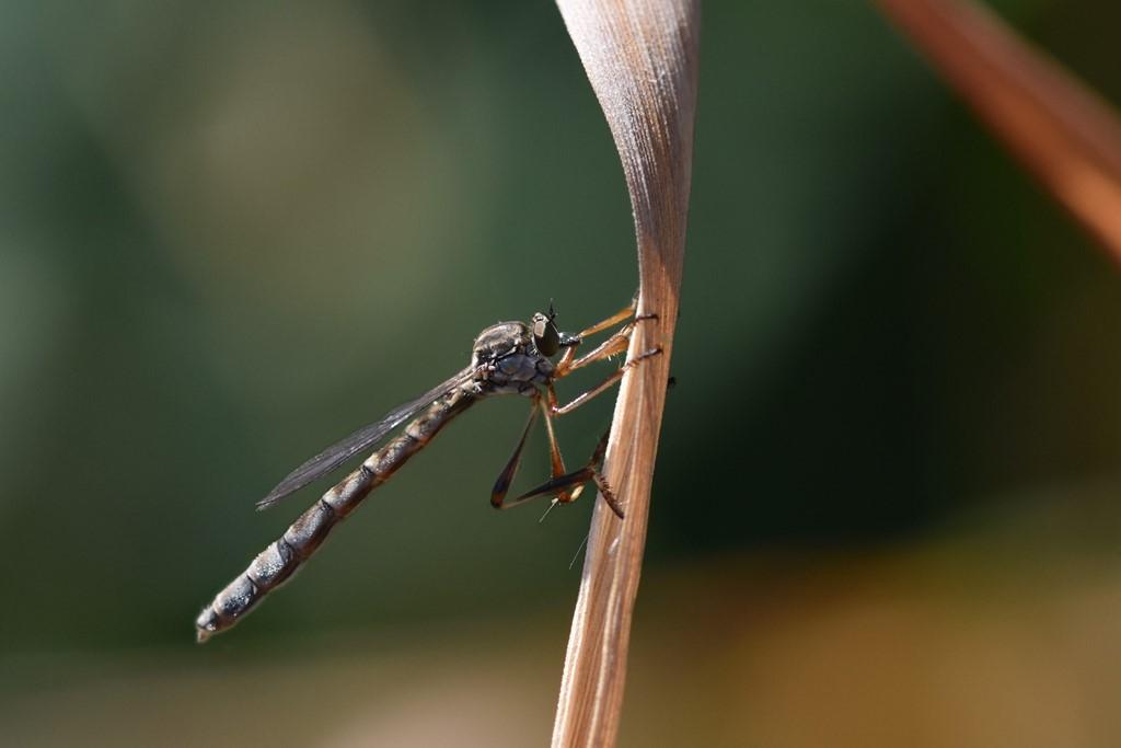Foto/billede af Plettet Græsrovflue (Leptogaster guttiventris)