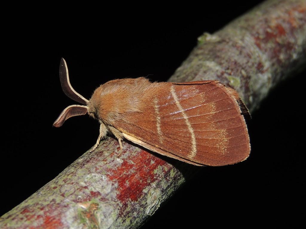 Brombærspinder (Macrothylacia rubi)