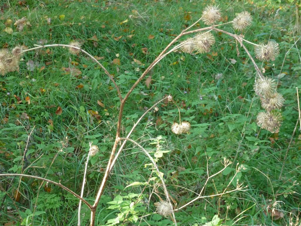 Foto/billede af Skov-Burre (Arctium nemorosum)