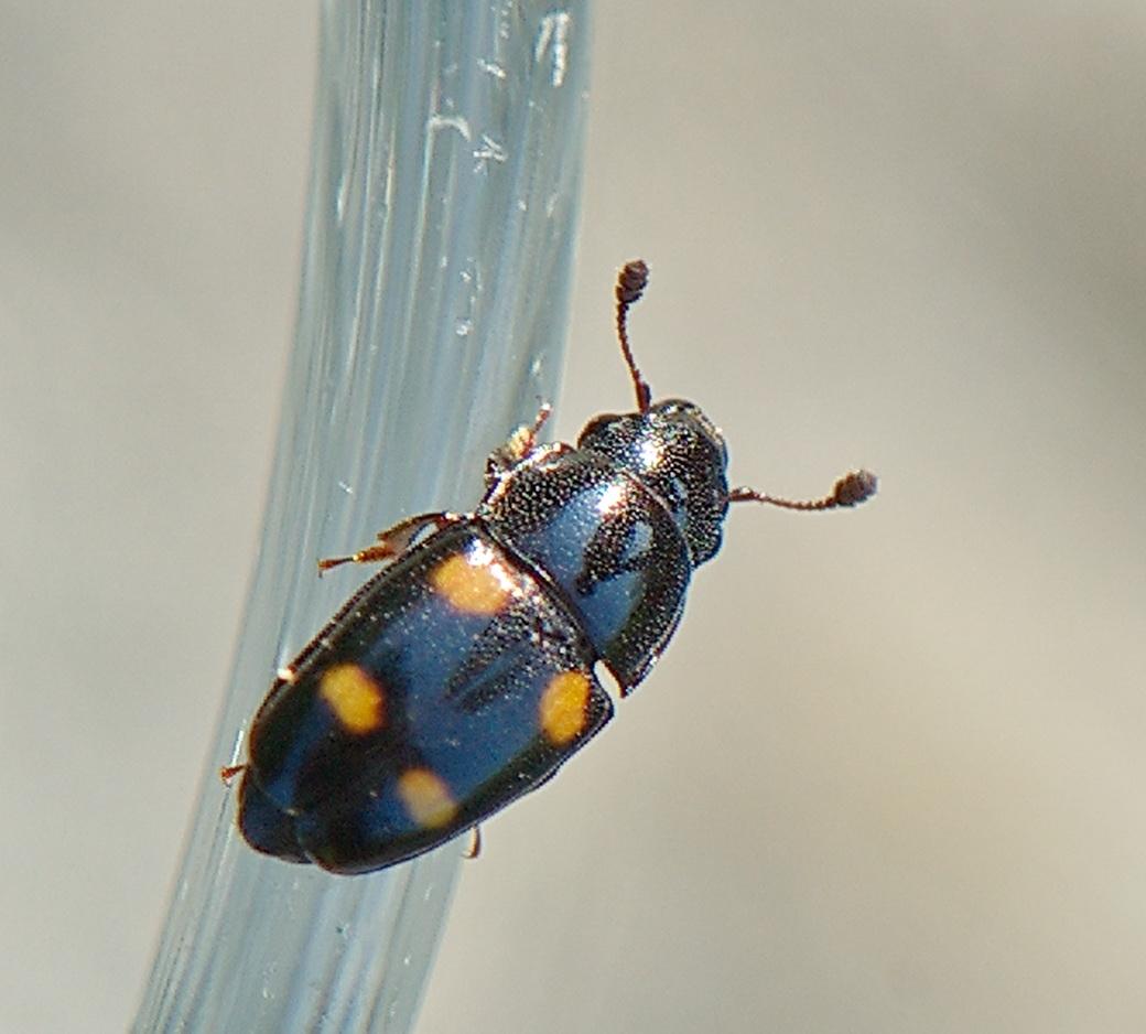 Foto/billede af Glischrochilus hortensis (Glischrochilus hortensis)