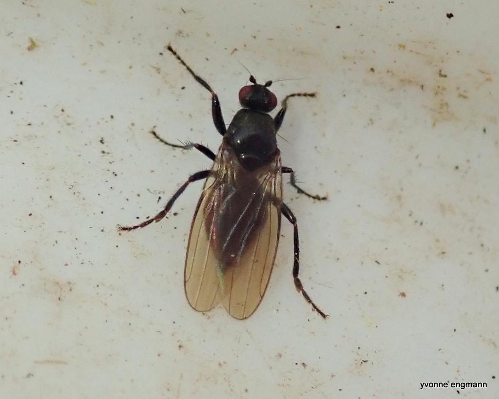 Crumomyia nitida (Crumomyia nitida)