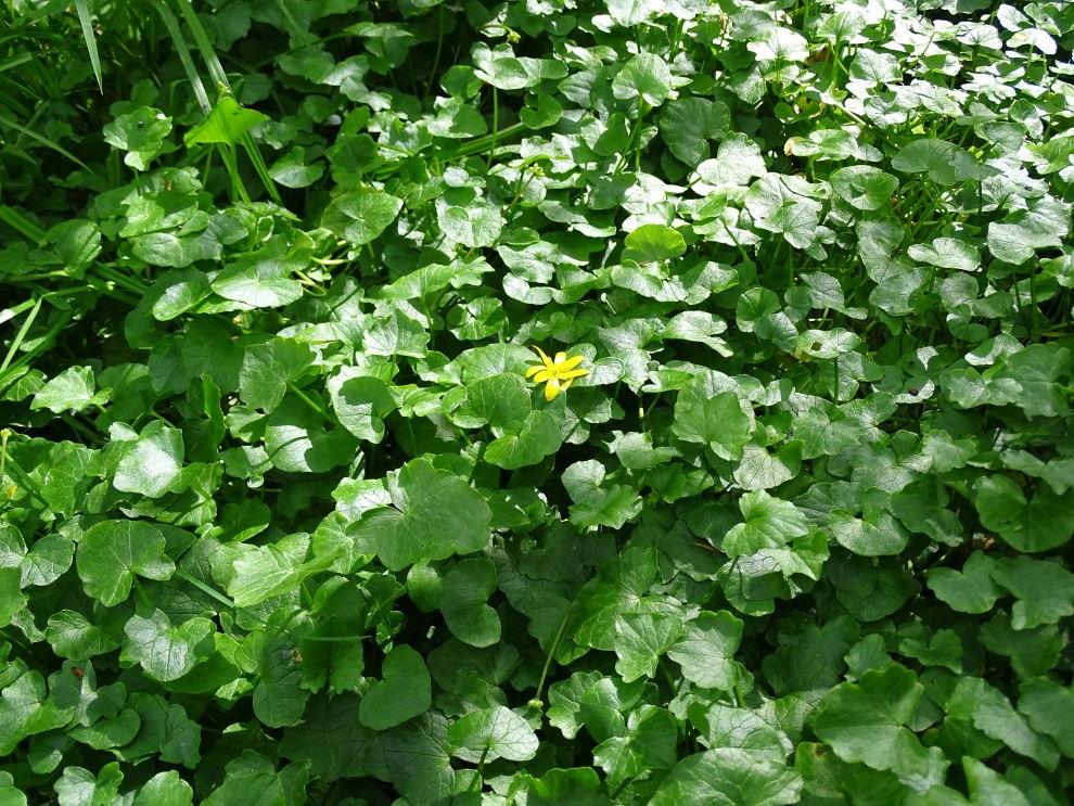 Vorterod (Ranunculus ficaria)