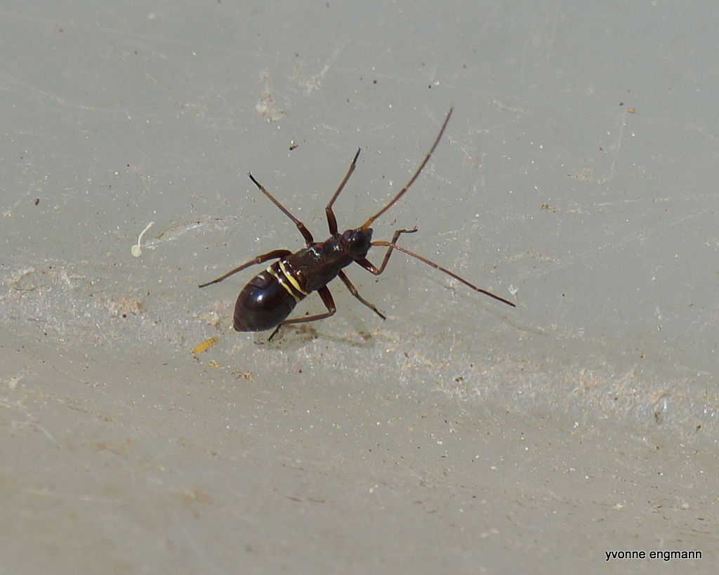 Gulstribet Egetæge (Miris striatus)
