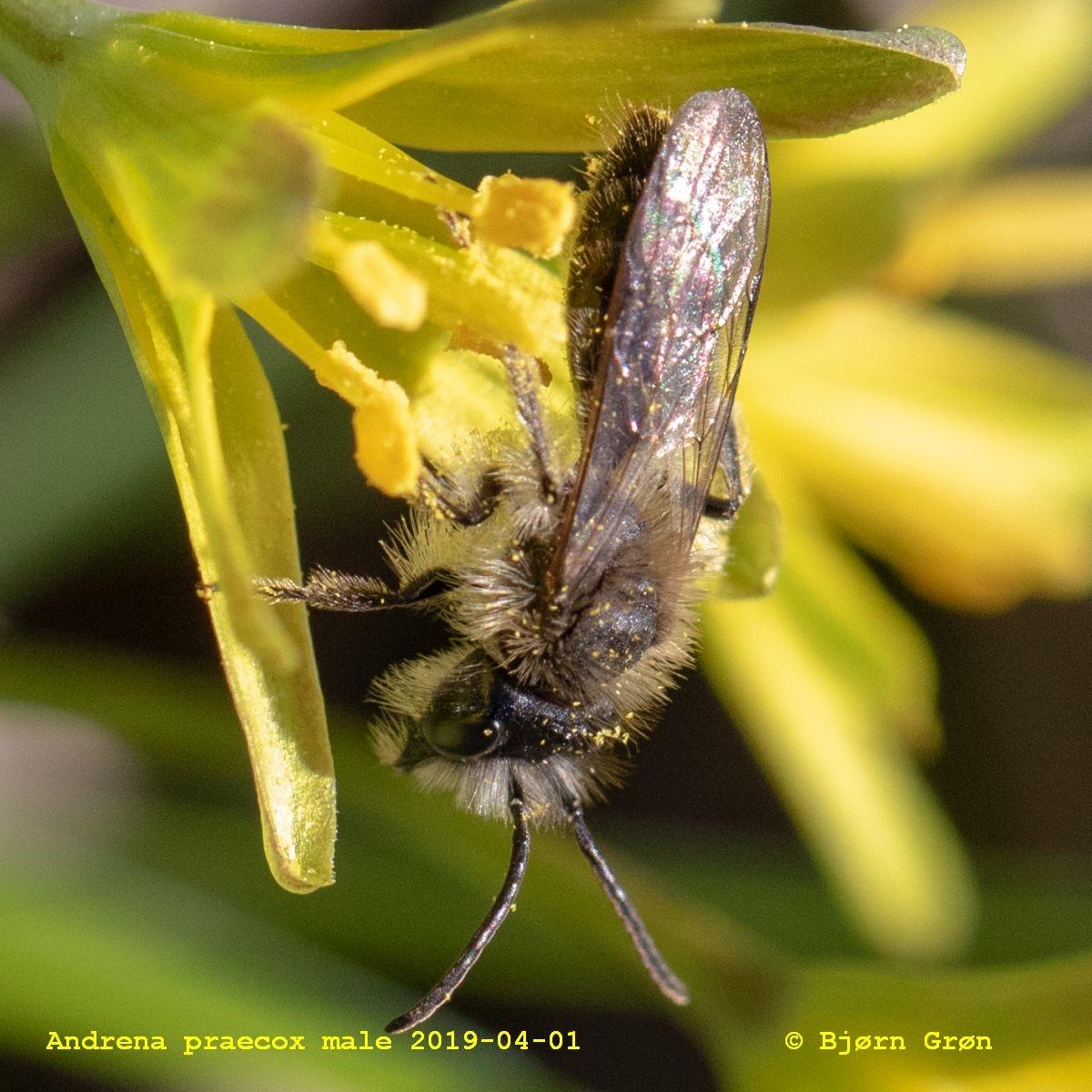 Foto/billede af Forårsjordbi (Andrena praecox)