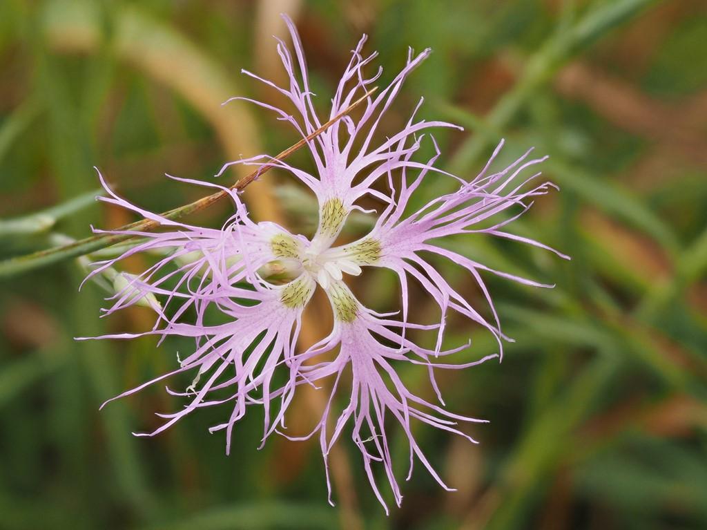 Strand-Nellike (Dianthus superbus)