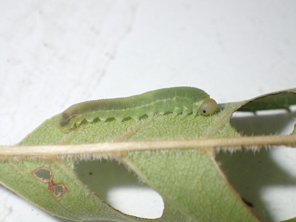 Tomostethus nigritus