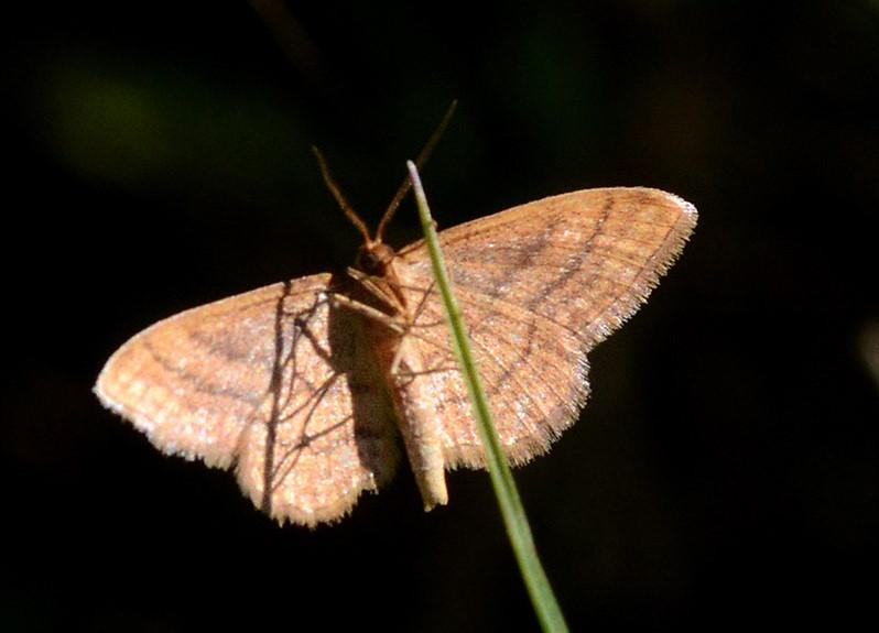 Foto/billede af Violet Løvmåler (Scopula rubiginata)
