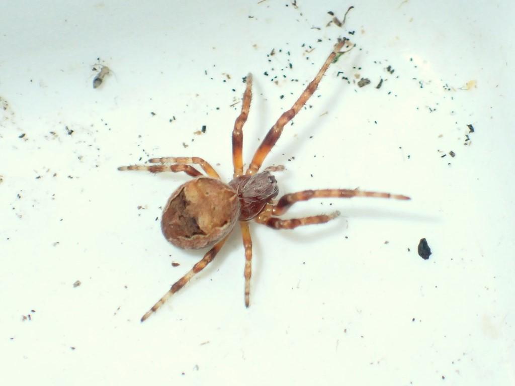 Foto/billede af Larinioides patagiatus (Larinioides patagiatus)