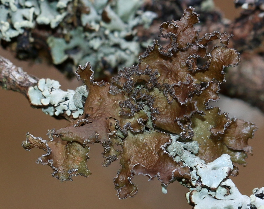 Olivenbrun Kruslav (Tuckermanopsis chlorophylla)