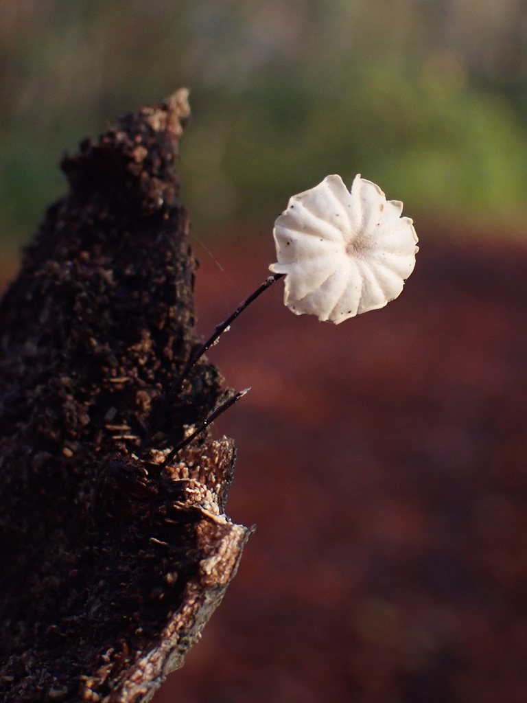 Hjul-Bruskhat (Marasmius rotula)