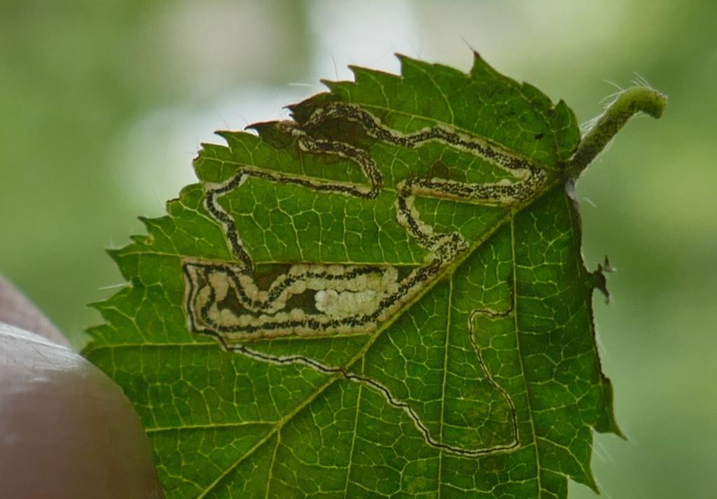 Foto/billede af Stigmella floslactella (Stigmella floslactella)