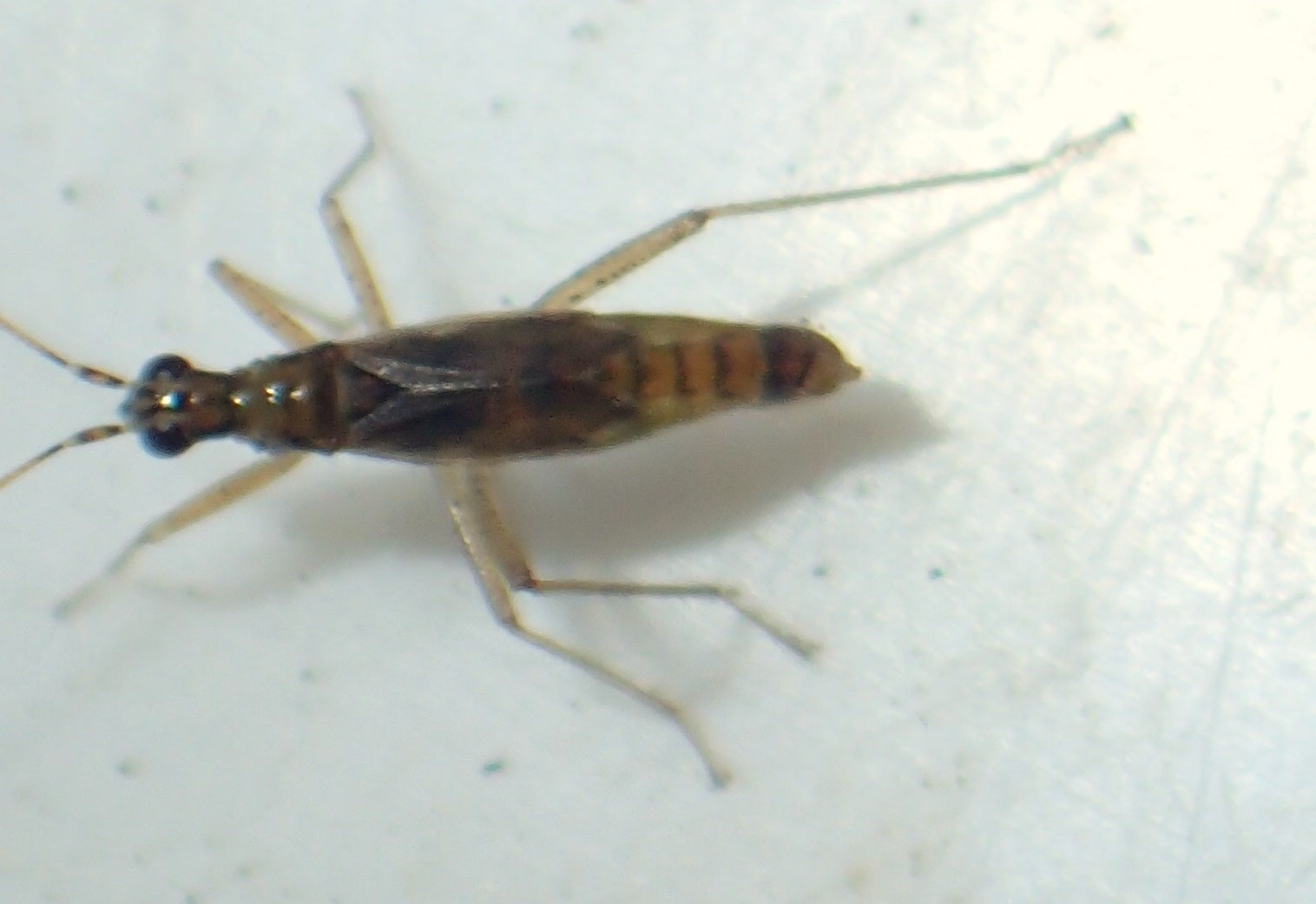 Foto/billede af Dicyphus stachydis (Dicyphus stachydis)