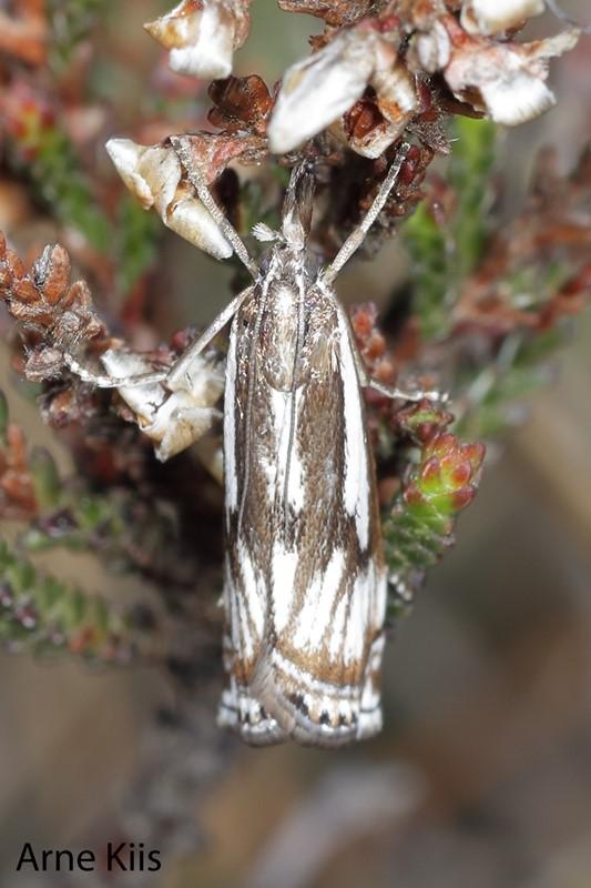 Crambus alienellus (Crambus alienellus)