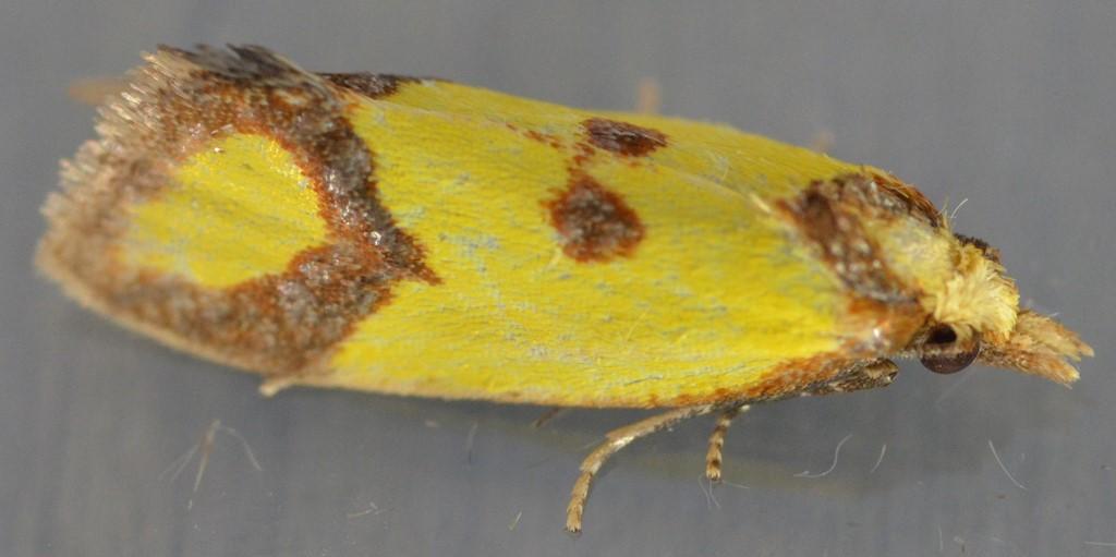 Foto/billede af Knopurtgulvikler (Agapeta zoegana)