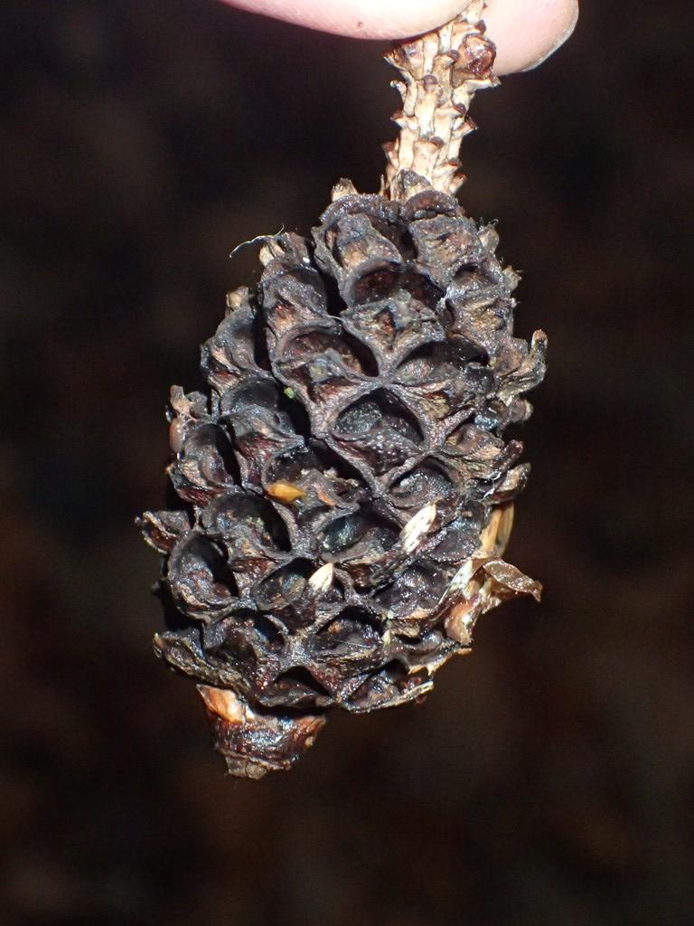 Ananasgallelus sp. (Adelges sp.)