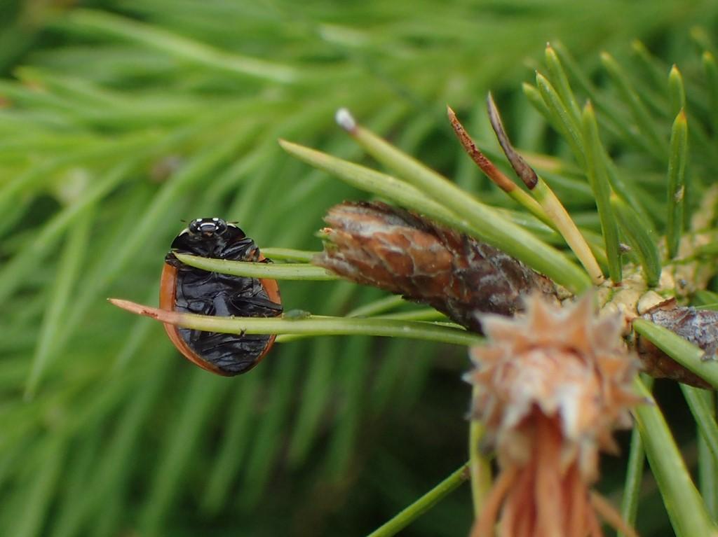 Myremariehøne (Coccinella magnifica)