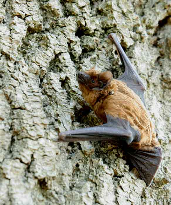 Brunflagermus (Nyctalus noctula)