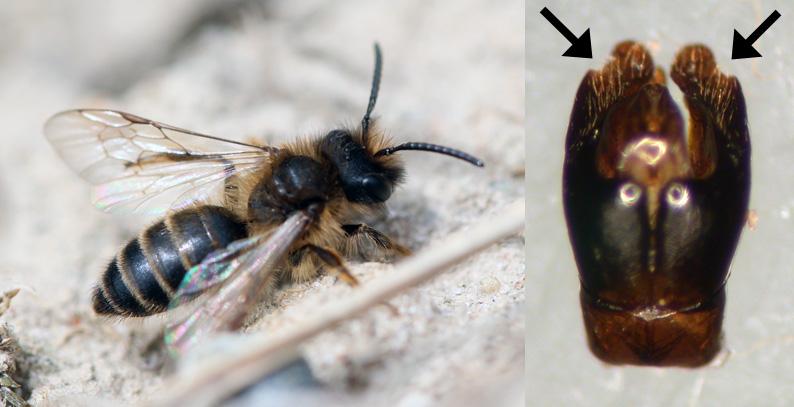 Foto/billede af Gulbåndet Jordbi (Andrena flavipes)